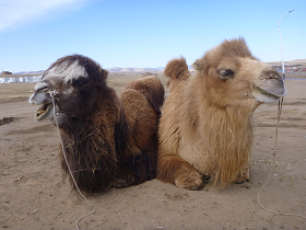 Bactrian camels in Mongolia